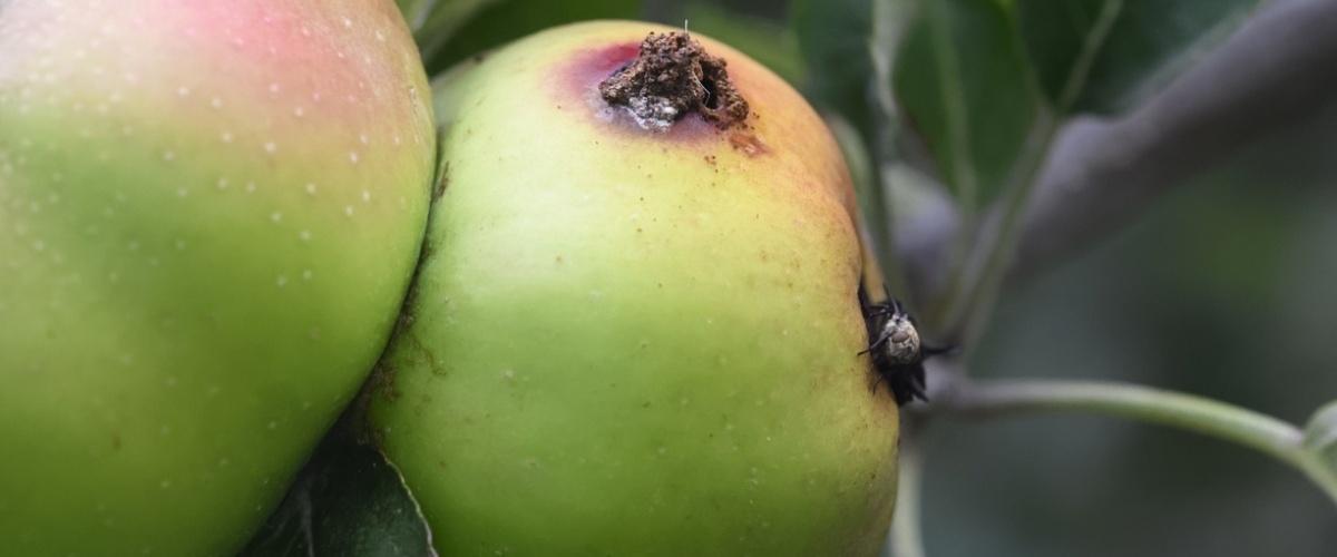 Pièges à vers des fruits