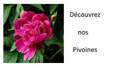 Découvrez nos Pivoines
