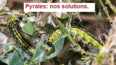 Pyrales
